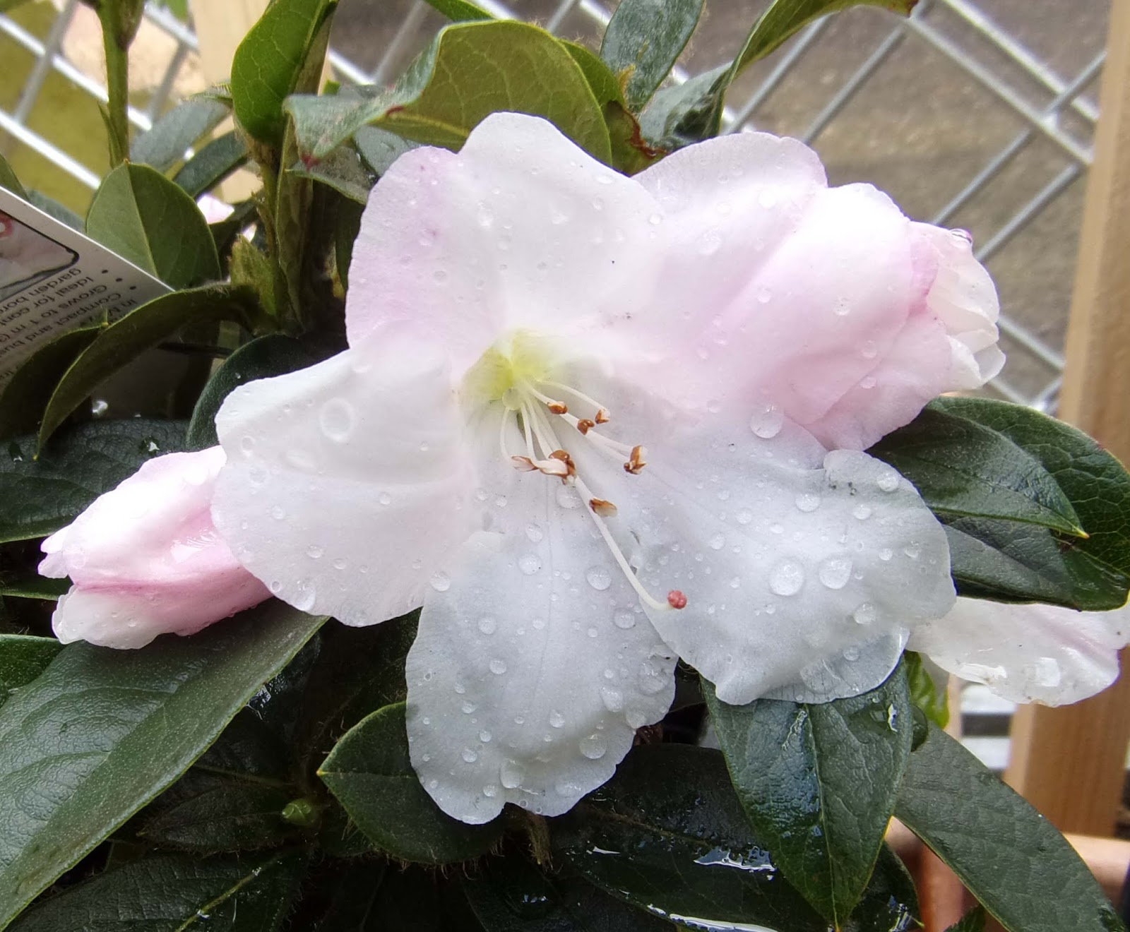 Feltabulous Plant Of The Week Rhododendron Tinkerbird