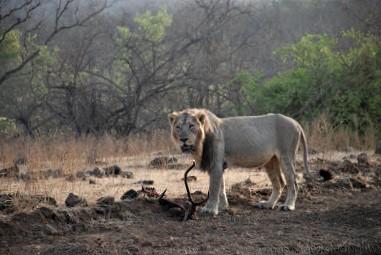 Gir National Park information Gujarat