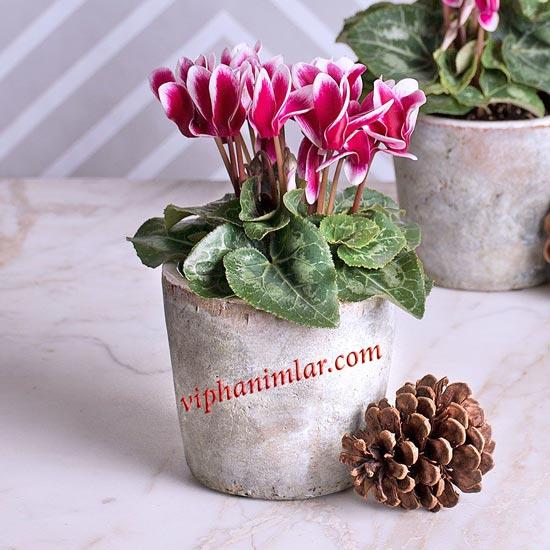 Siklamen Çiçeğinin Yeniden Açması