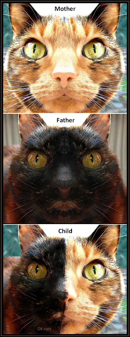 Photoshopped Cat picture • Genetic law is easy to understand.  Mother + Father = Child