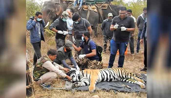 Ken-Betwa Link Project, KBLP, Panna tiger reserve, GPS Satellite collaring tigers in Panna Wildlife Institute of India All 14 tigers will be collared