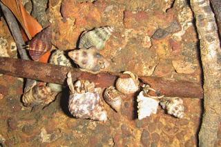 Coenobita variabilis feeding