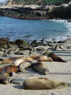 Top Best 10 Reasons to Explore San Diego, The Seals of La Jolla