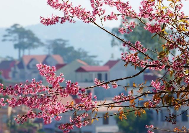 Từ cuối tháng 1, đầu tháng 2, dốc Đa Quý, hồ Xuân Hương, hồ Tuyền Lâm, đường Trần Hưng Đạo đã 'khoác áo hồng' của hoa mai anh đào. Thời khắc giao thừa của mùa xuân ngân vang. Cũng là lúc những cánh hoa khoe sắc hồng cả một trời tây ở Đà Lạt đẹp ngỡ ngàng.