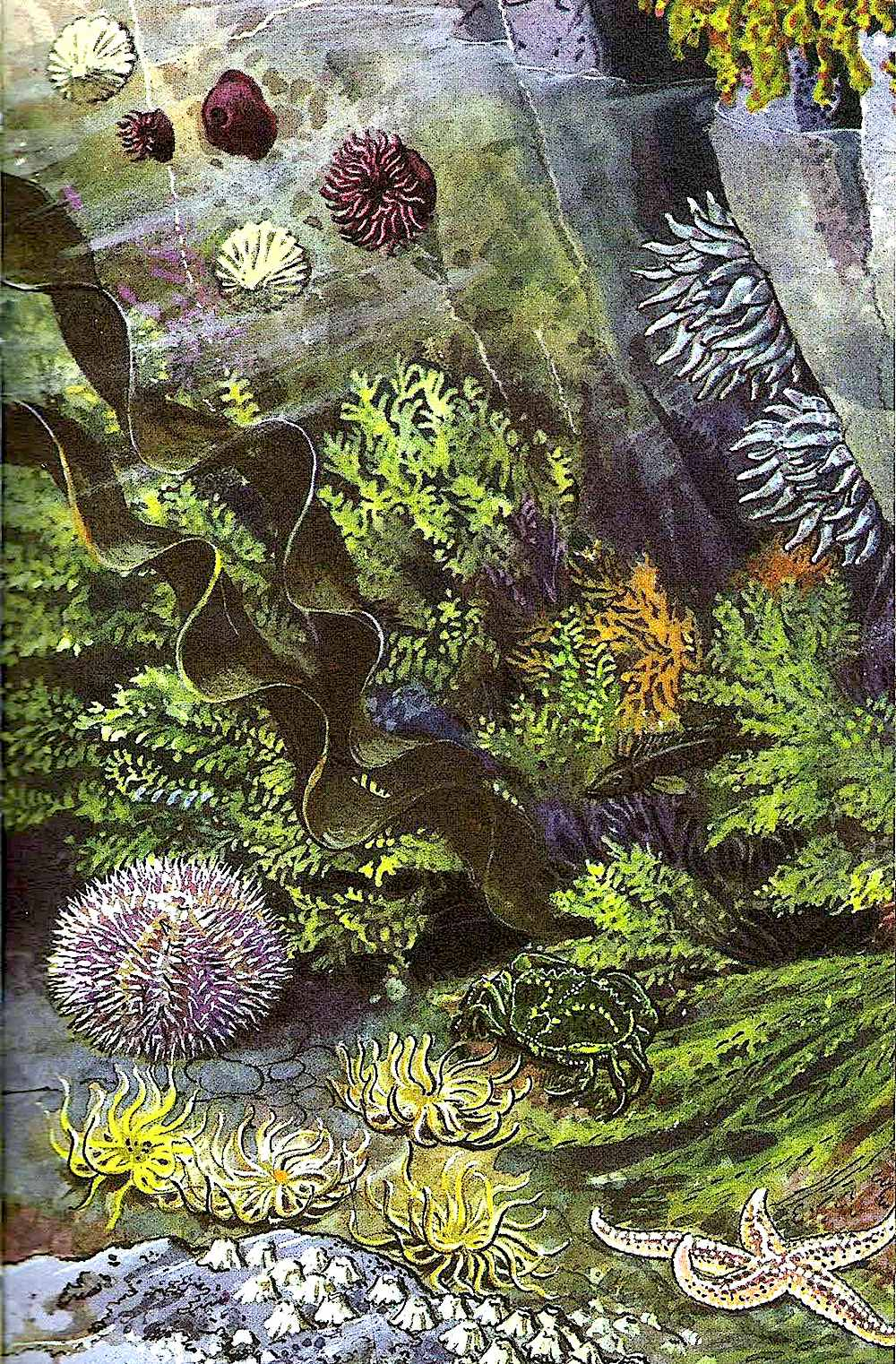 a Charles F. Tunnicliffe illustration of underwater plant life