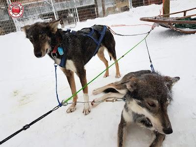 Trineos de huskies en Rovaniemi, Finlandia