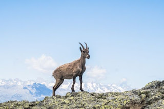 Mountain *Goat - Photo by Fabrizio Conti on Unsplash