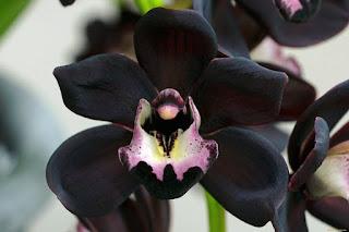 Gambar Bunga Anggrek Hitam (Black Orchid Flowers) 15000