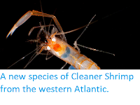 https://sciencythoughts.blogspot.com/2014/03/a-new-species-of-cleaner-shrimp-from.html