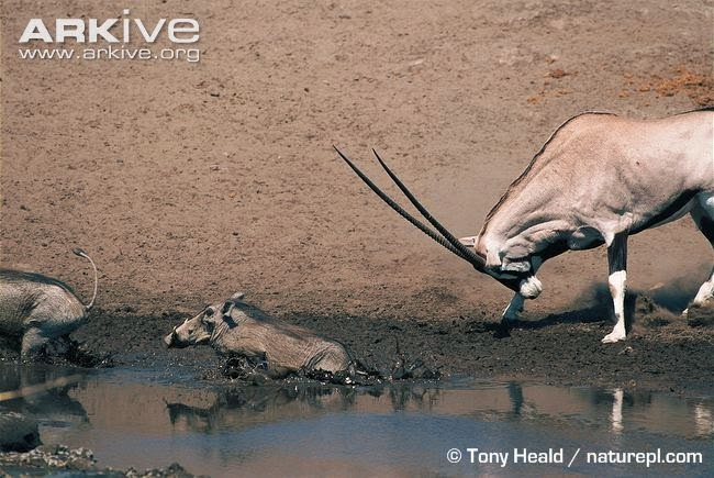 Warthog and antelope
