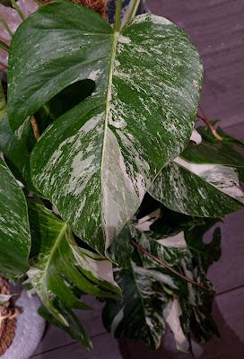 Monstera deliciosa var. albovariegata med hvitt mønster på bladene