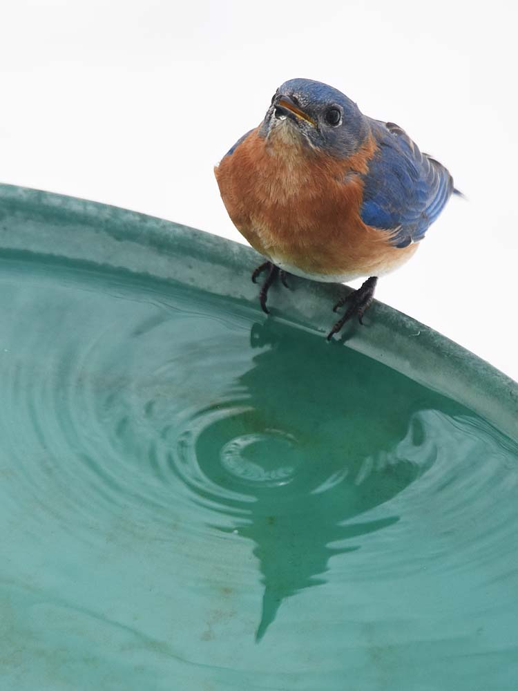 Bluebird and reflection