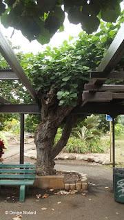 Large treillised tree - Queen Kapiolani Garden, Waikiki, Oahu, HI