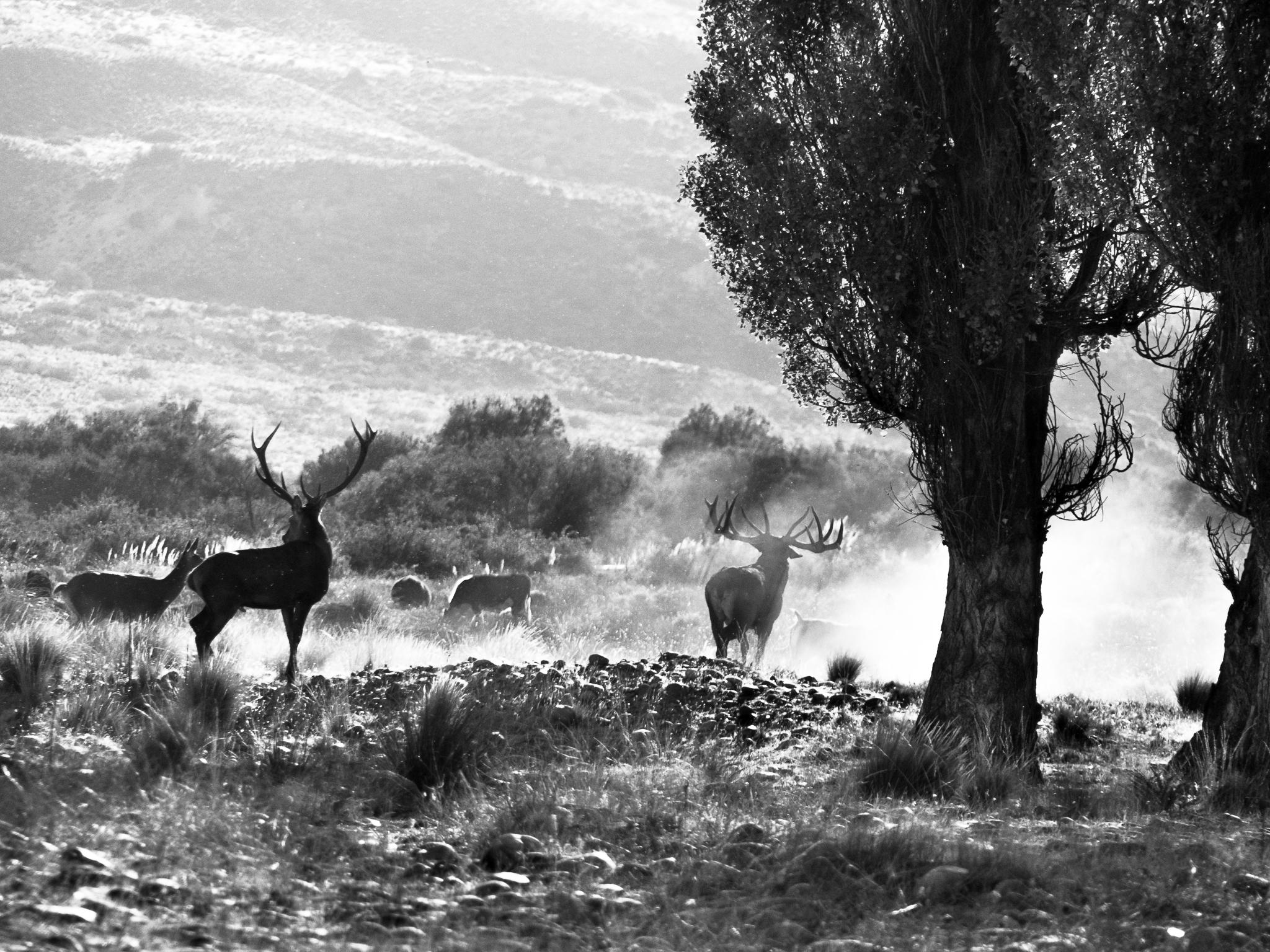 red stag Caleufu River Patagonia Argentina