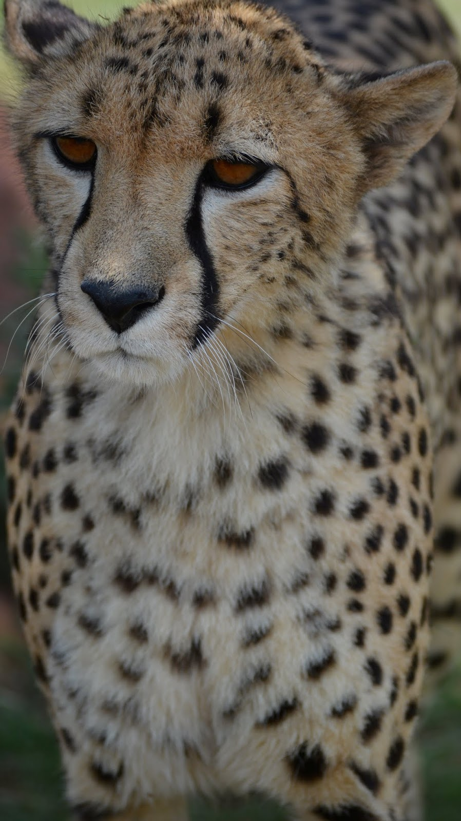 A cheetah up close.