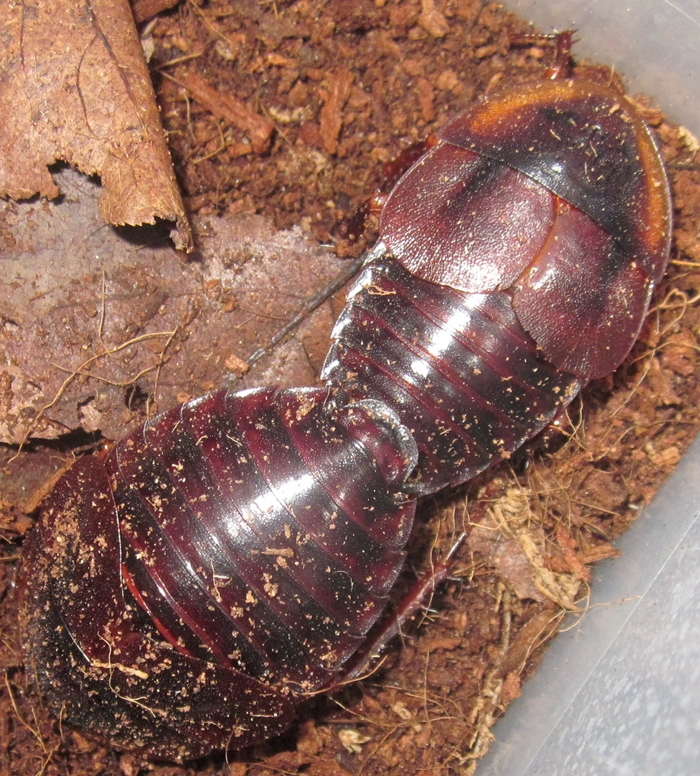 Hisserdude's Roaches H.tenebmating%25231