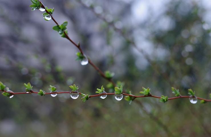ユキヤナギの細枝に大きく膨らむ水滴