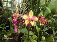 Spathoglottis, an orchid - Kyoto Botanical Gardens Conservatory, Japan