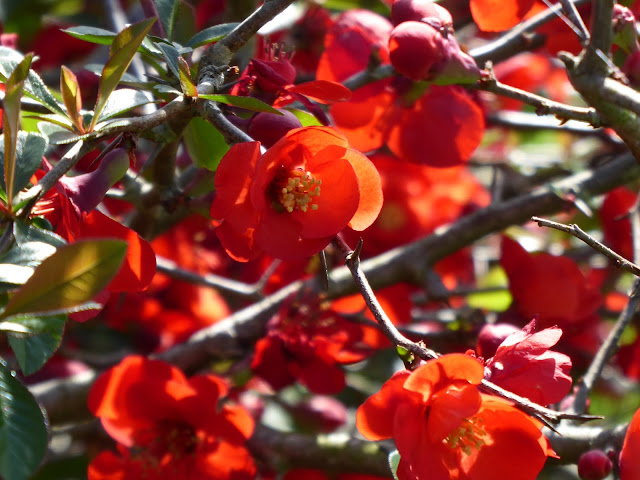 Planting Bare Root Flowering Quince Chaenomeles Speciosa In The