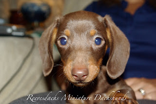 Reevesdachs Miniature Dachshunds