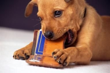 Animals & Pets: How to Stop Your Dog From Chewing Everything