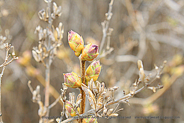 Lilac bushes first buds photography by Christy Sheeler 2016