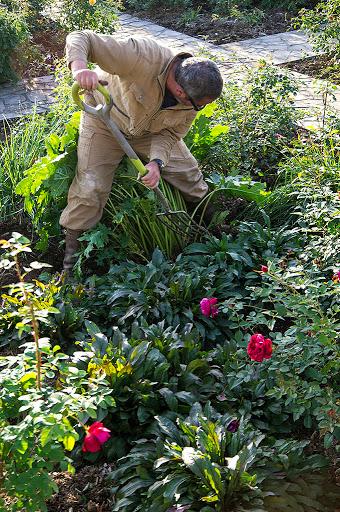 宿根草アカンサス・モリスの根を掘り出すデービッドさん