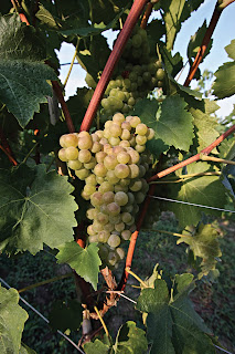 turbiana grapes of Lugana