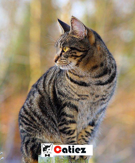 Chinese Li Hua cat - all you want to know about Chinese Li Hua cats