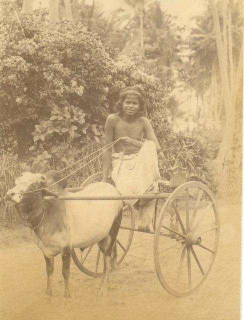 Small Ox Cart - Colombo Ceylon (Sri Lanka) c1880