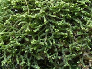 Bazzania trilobata - Bazzanie trilobée