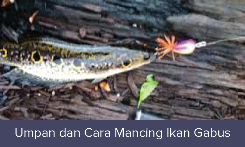 Mancing Ikan Umpan Jitu dan Cara Mancing Ikan Gabus
