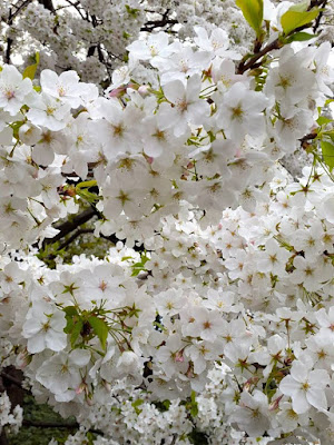 White cherry flowers in the Imperial Palace Honmaru Area Japan