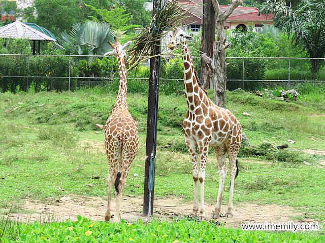giraffe at zoo negara