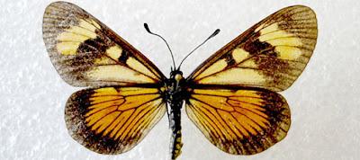 mariposas de Argentina Actinote pellenea