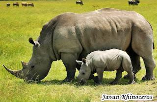 Animal That Starts With J - Javan Rhinoceros