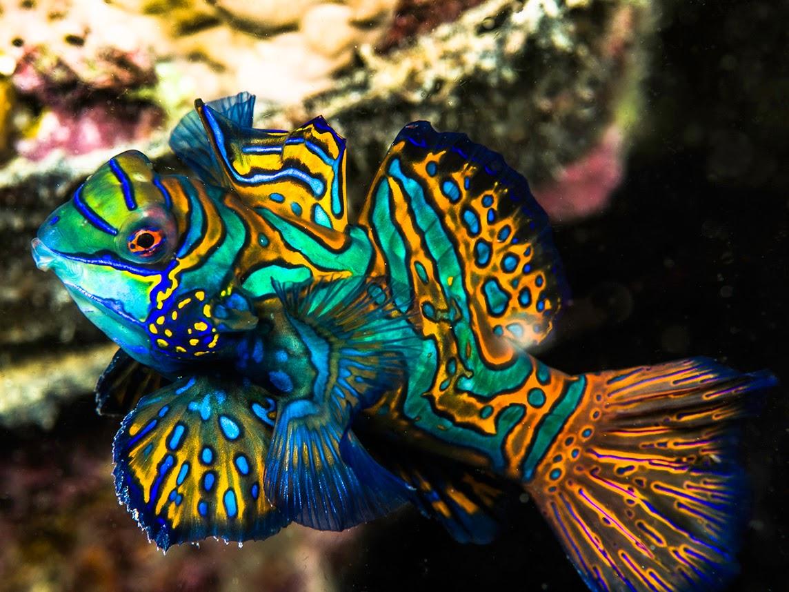 fish share MANDARIN FISH IKAN HIAS CANTIK 4