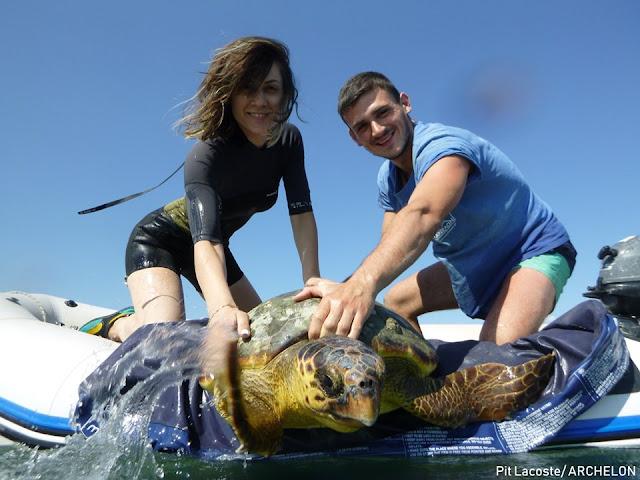 Δύο ακόμη τραυματισμένες χελώνες Καρέτα-Καρέτα στον Αμβρακικό ...