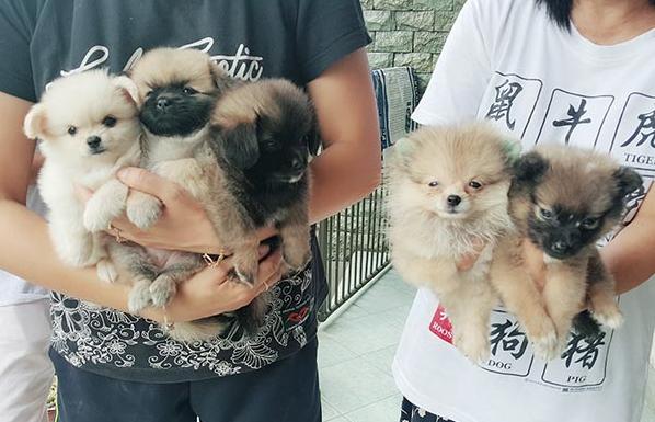 Clara Dog39 Tempat Ideal untuk Adopter Mencari Ras Pomeranian