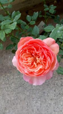 david asutin boscobel rose young coral flowers - close up
