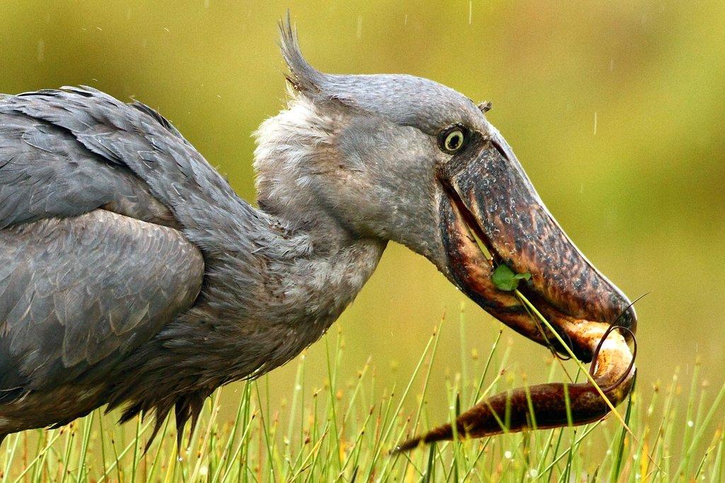 Rockjumper - Worldwide Birding Adventures: 2012 Birds of ...
