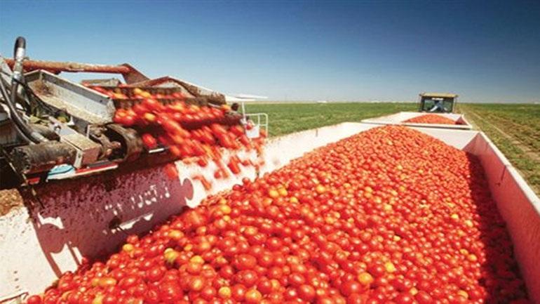 Καλό ξεκίνημα για τη βιομηχανική ντομάτα στη Θεσσαλία