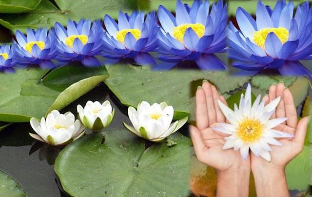 Unduh 72 Gambar Bunga Teratai Warna Biru Gratis