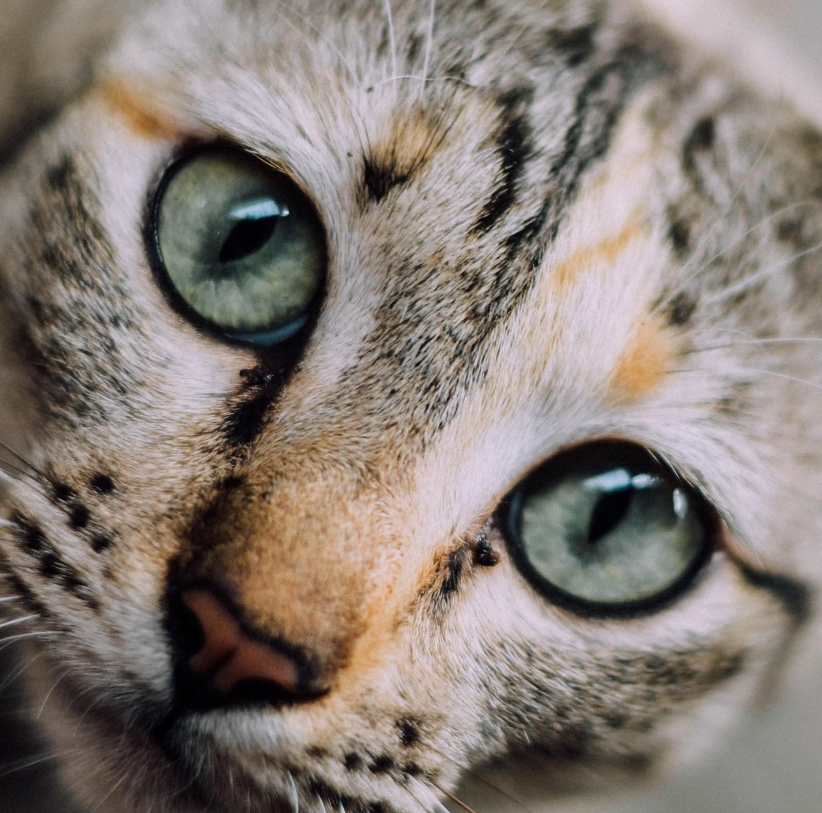Beautiful Cats dp for Profile Picture