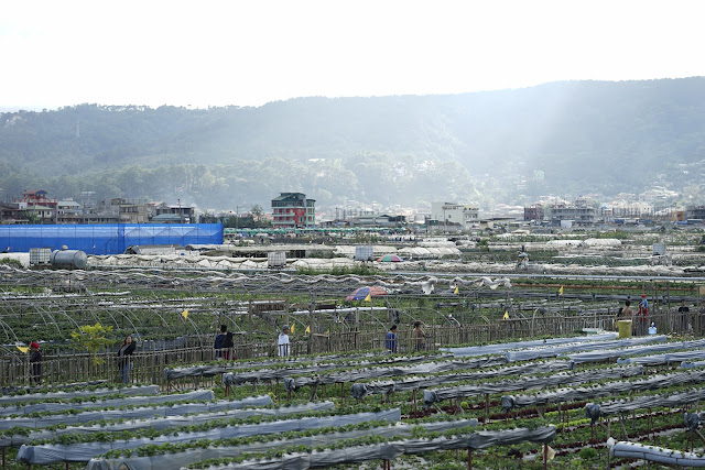 Strawberry Picking at La Trinidad Benguet