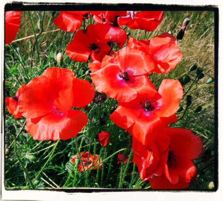Wild Poppy's: Grow Wild And Grow Free