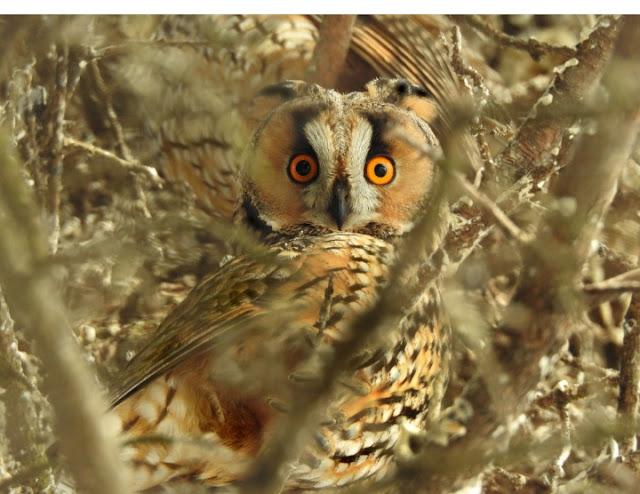 Perlindungan Burung Hantu Di Indonesia