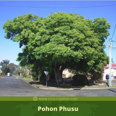 Ciri Ciri Pohon Phusu