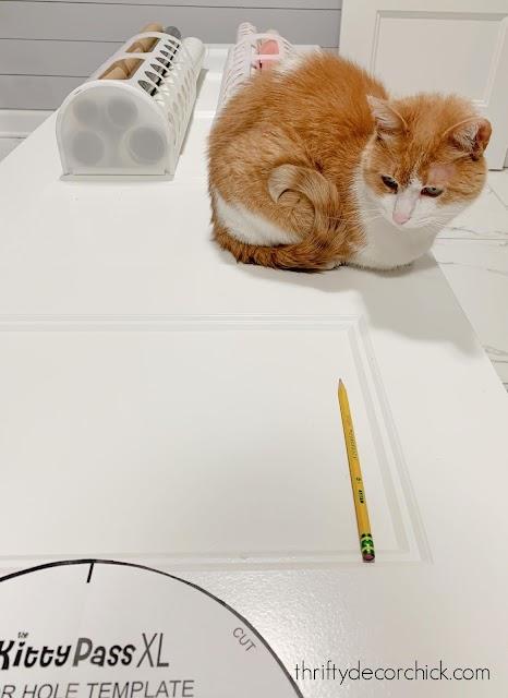 Orange Colby cat