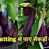 बैगन पर 3G Cutting का कमाल एक पौधे से सैकड़ों फल पाएं